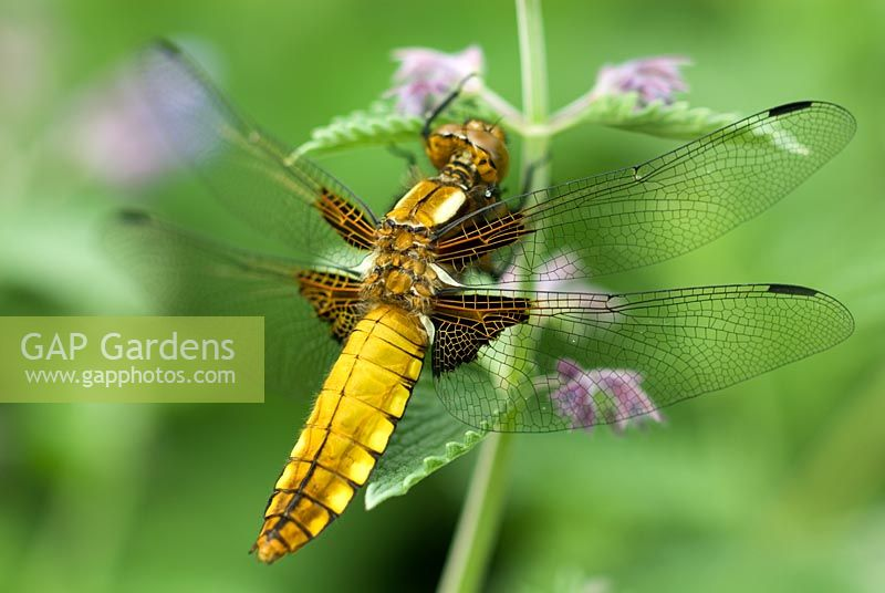 Libellula depressa - Broad bodied chaser dragonfly resting on Nepeta flower