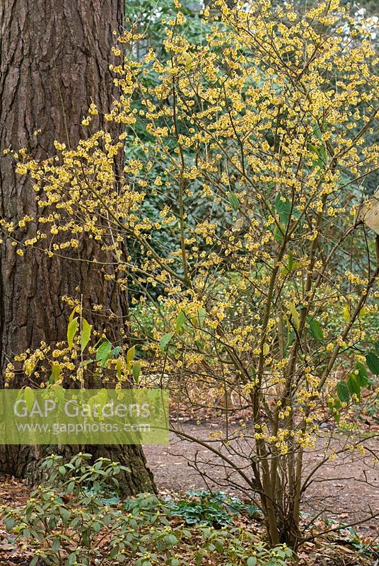 Chimonanthus praecox - Wintersweet, fragrant winter flowering shrub with mass of yellow flowers