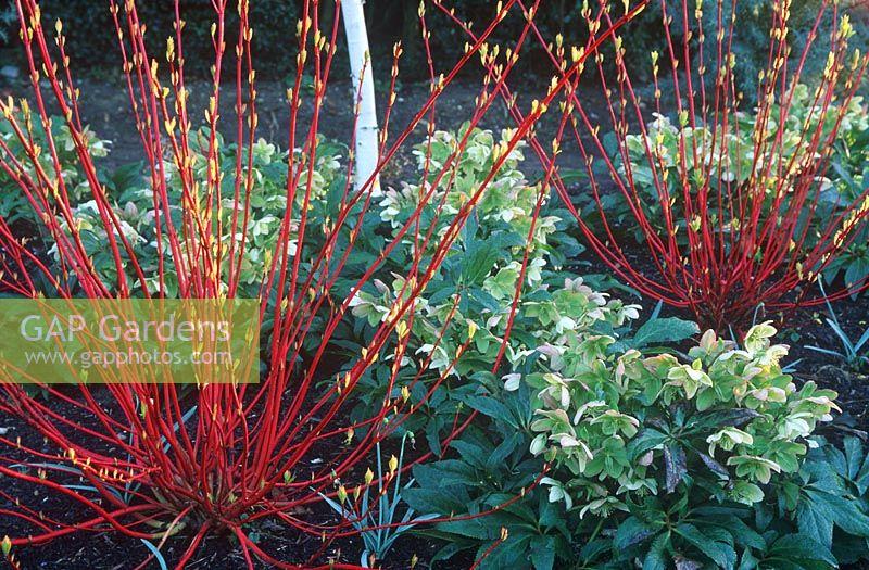 gap gardens cornus alba 39 sibirica 39 and helleborus. Black Bedroom Furniture Sets. Home Design Ideas