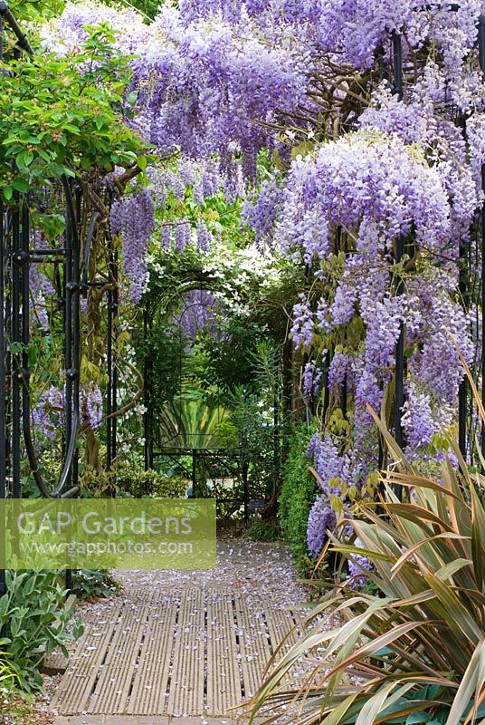 Wisteria sinensis climbing over colonnade, Clematis montana, Phormium Sundowner and Hosta Halcyon - The Garden of Rooms at RHS Wisley