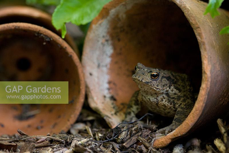 Toad in terracotta pots