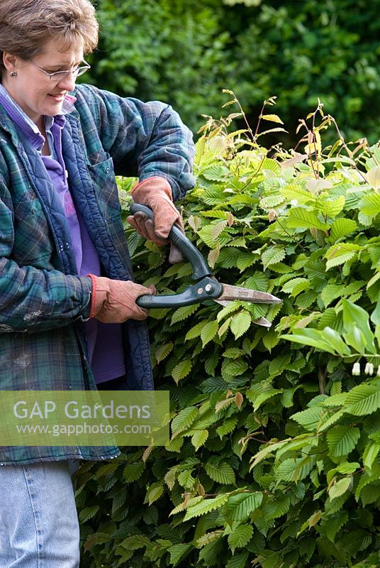 Woman wearing gloves trimming hedge with hand shears, Carpinus betulus - Hornbeam hedge, May