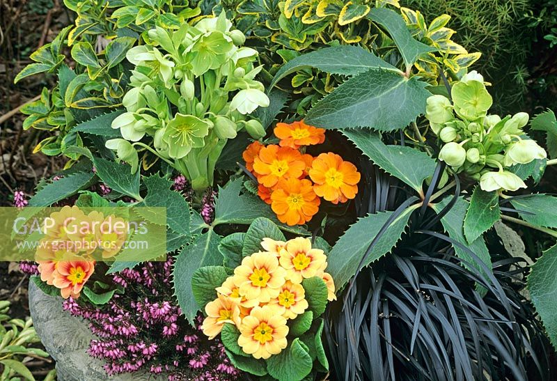 Winter/Spring container backed by Euonymus japonicus 'Ovatus Aureus' with two Helleborus argutifolius, hybrid primroses, Erica carnea cultivar and black leaved Ophiopogon nigrescens.