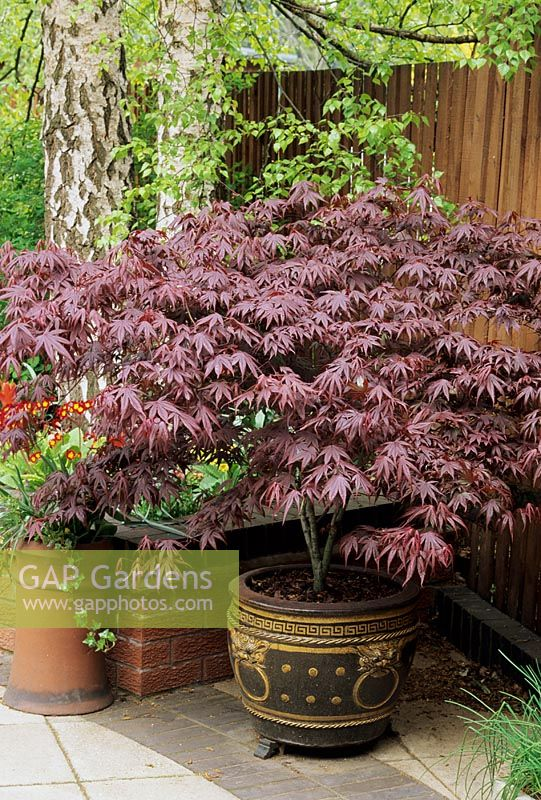 gap gardens acer palmatum bloodgood growing in an pot sat up on pot in the