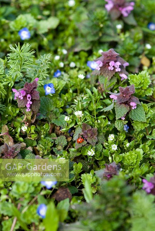Weeds in an organic vegetable garden - Lamium purpureum - Red Dead Nettle, Veronica chamaedrys - Speedwell blue flower and Stellaria media - Common chickweed with a ladybird in late March