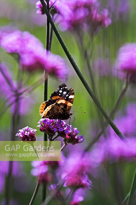 Red Admiral Butterfly on Verbena bonariensis