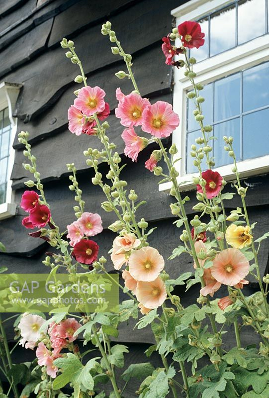 Alcea rosea - Hollyhocks thrown into sharp contrast by the dark stained boarding of a cottage