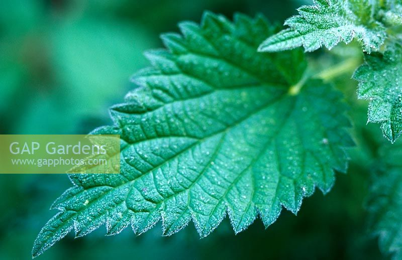 Urtica dioica - Stinging Nettle