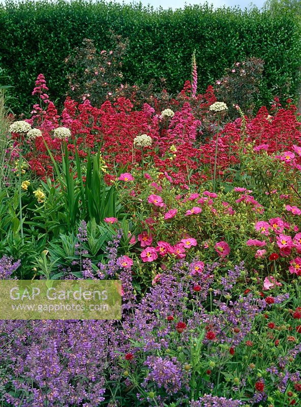 Mixed bed of Nepeta 'Six Hills Giant', Cistus x purpureus, Centranthus ruber, Rosa glauca and Allium nigrum