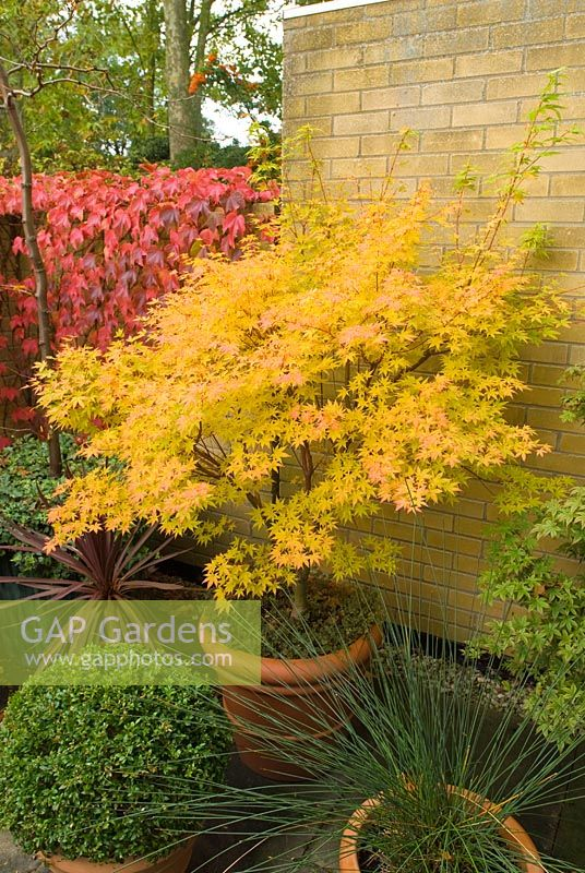 gap gardens acer palmatum 39 sango kaku 39 in container in tiny courtyard in autumn image no. Black Bedroom Furniture Sets. Home Design Ideas