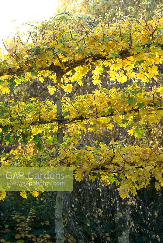 Acer campestre - Pleached Field Maple trees in Autumn
