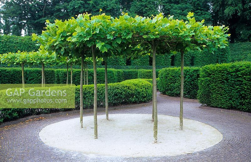 Table top pleached Platanus - plane trees at Alnwick Castle. A natural shade.