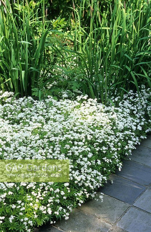 Galium odoratum - Ground cover beside path