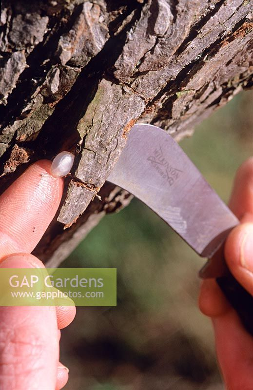 Lifting tree bark with knife and inserting a Mistletoe berry