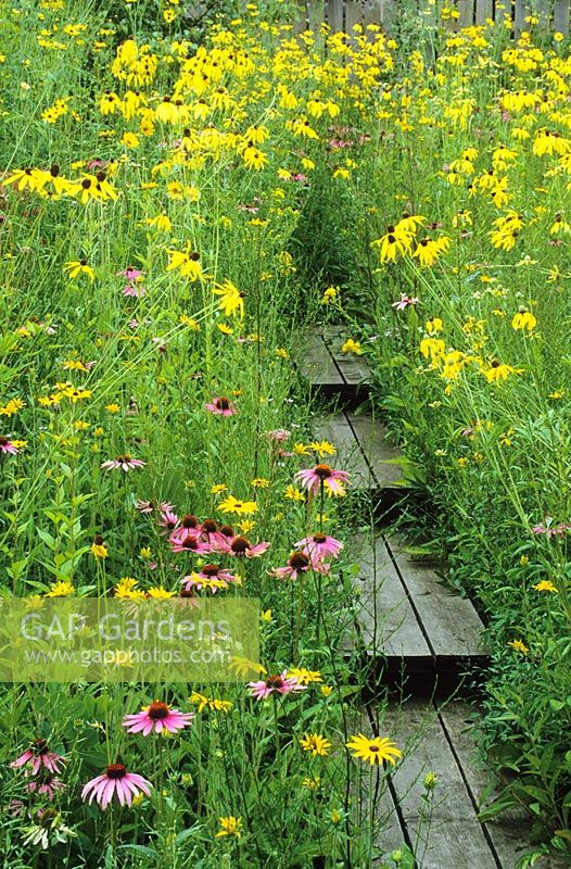 Prairie style garden with Rudbeckia, Echinacea, Coreopsis and Silphium surrounding a wooden boardwalk