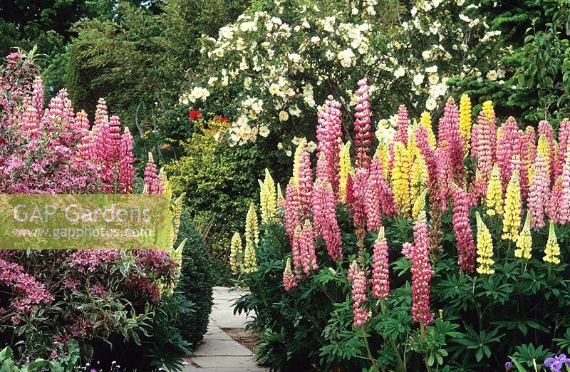 Gap gardens weigela praecox variegata in flower with pink lupin weigela praecox variegata in flower with pink lupin the chatelaine and yellow aloadofball Image collections