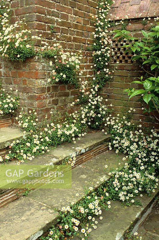 Self sown Erigeron karvinskianus syn Erigeron mucronatus growing in the steps and wall at Great Dixter