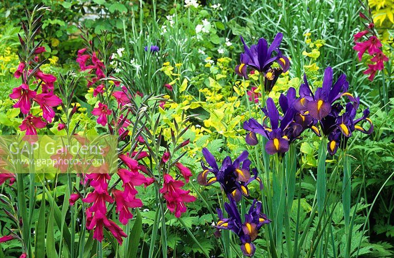 Gladiolus communis subsp. byzantinus with Iris 'Blue Triumphator' and Smyrnium perfoliatum in the Long Border at Great Dixter