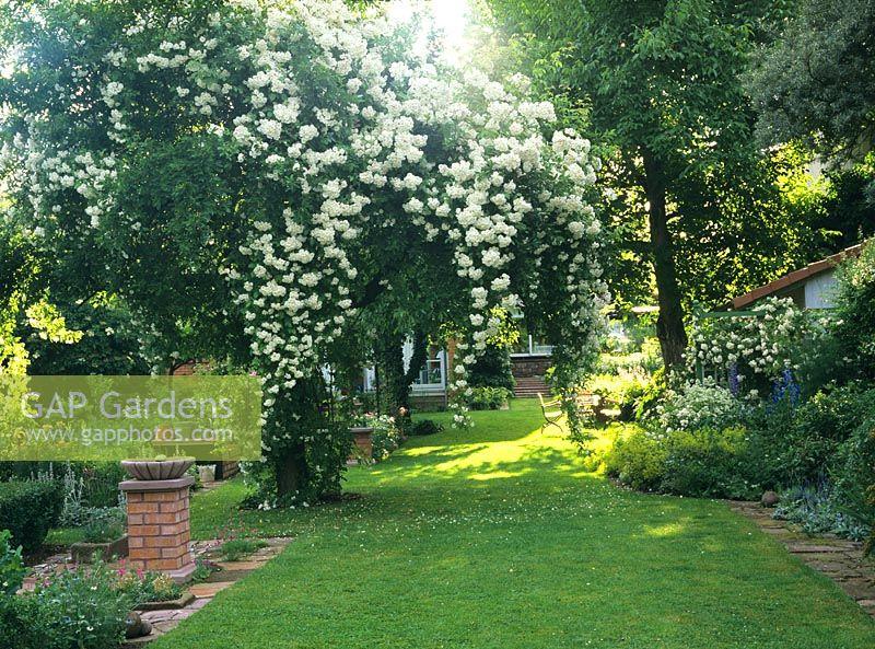 gap gardens rosa 39 bobbie james 39 rambling rose climbing. Black Bedroom Furniture Sets. Home Design Ideas