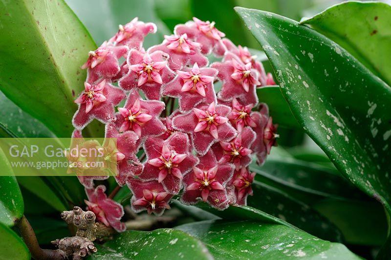 Pink Silver 4 Hoya purpureo