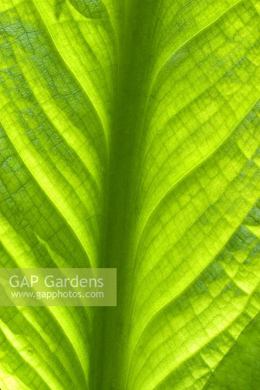 Lysichiton americanus - Detail of Skunk Cabbage leaf
