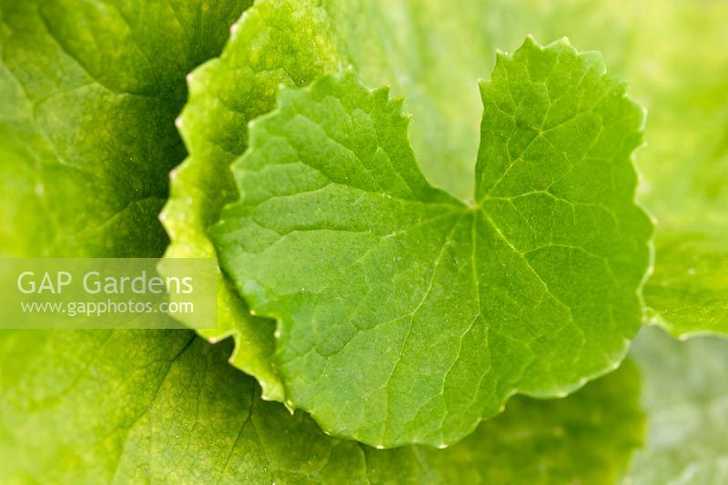 Centella asiatica - Guto kola leaves, native of Australia and Indonesia