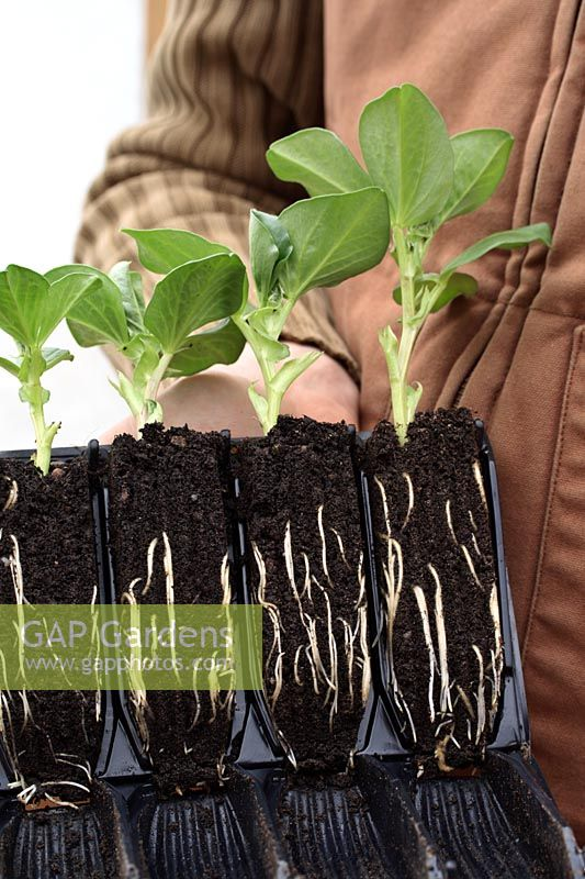 Gardener holding 'rootrainer' cells with  Vicia faba 'Green Windsor' - Broad Bean seedlings, a Heritage variety 1809
