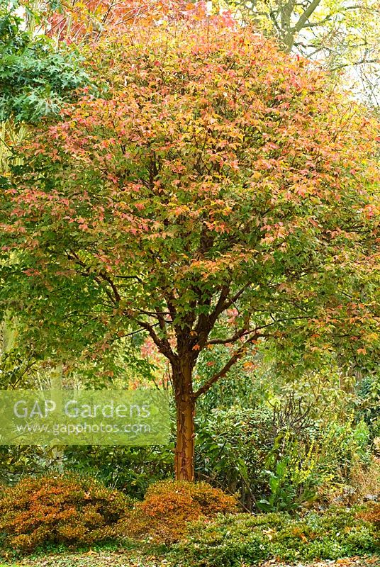 Acer griseum in Autumn with Rhododendrum Diamant Rot syn. Diamant Group red flowered