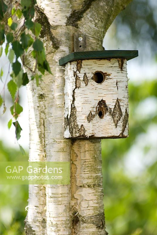 Birch bird box on a Birch tree