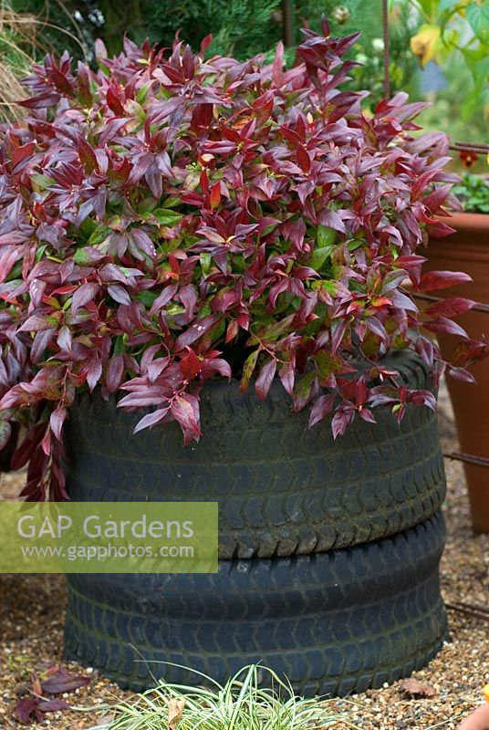 Leucothoe 'Scarletta' syn 'Zeblid' - Sierra Laurel planted in a rubber tyre container
