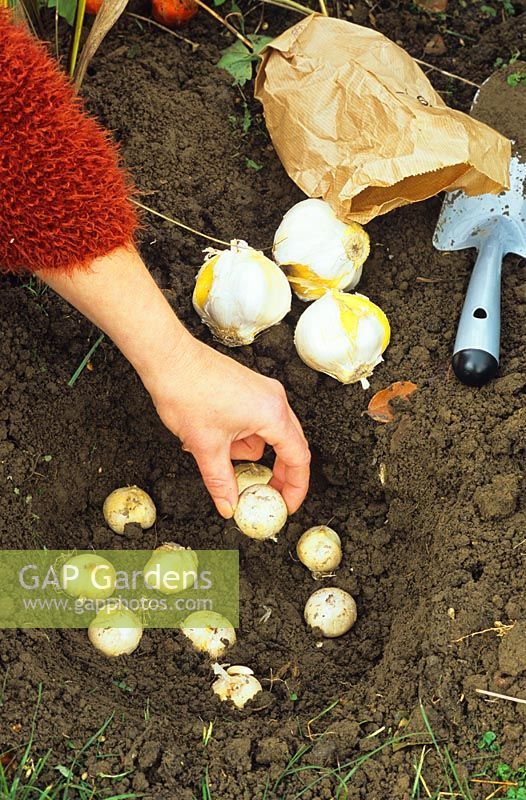 Woman Planting Allium Bulbs