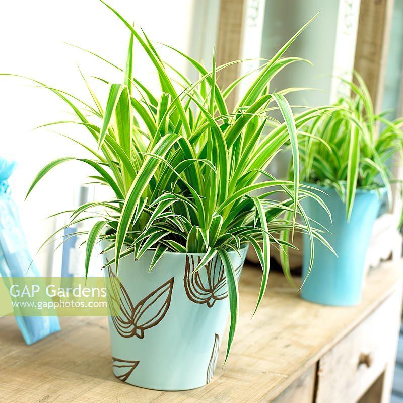 gap gardens chlorophytum comosum 39 ocean 39 spider plant image no 0093586 photo by visions. Black Bedroom Furniture Sets. Home Design Ideas