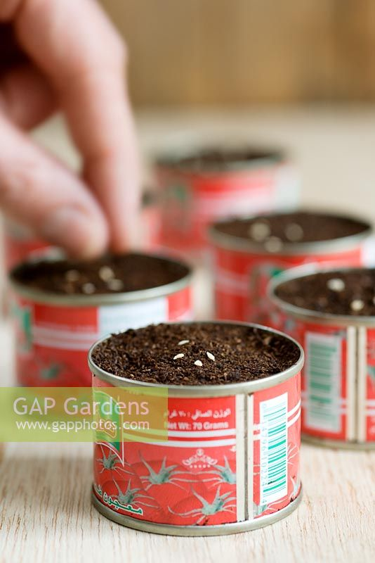 Tomato seeds 'Gardeners Delight', being sown in recycled tomato puree tins.