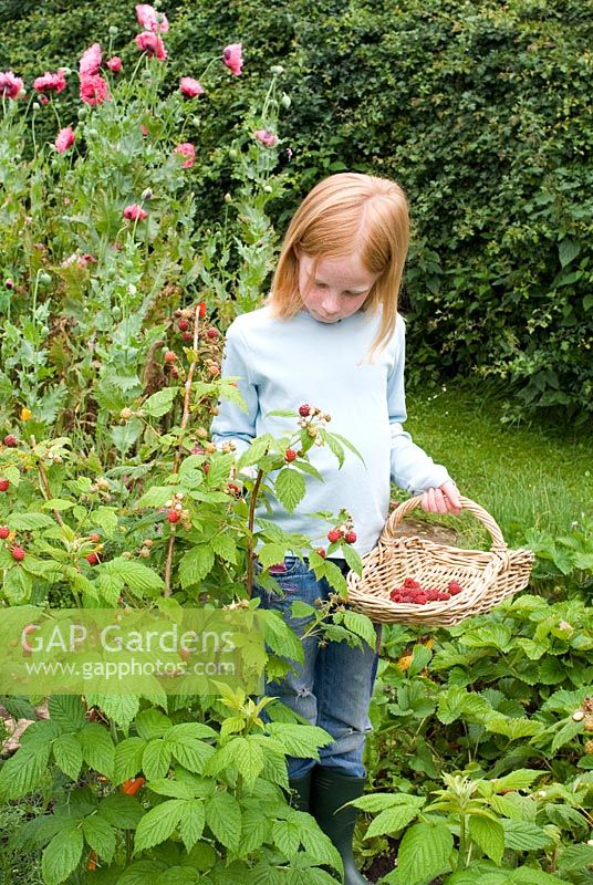 Girl picking raspberries into a trug shape wicker basket in June in an organic vegetable garden - Gowan Cottge, Suffolk