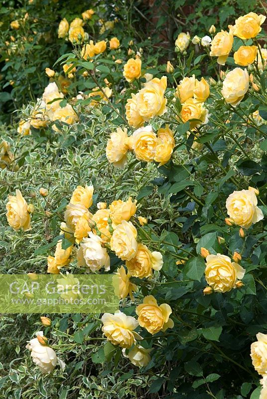 Gap gardens rosa graham thomas ausmas a david austin bred rose rosa graham thomas ausmas a david austin bred rose from the english rose altavistaventures Choice Image