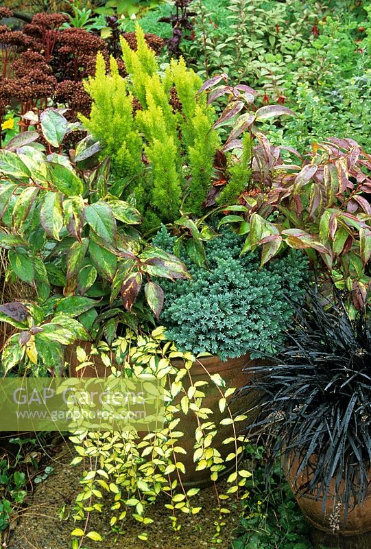Contrasting evergreens for autumn and winter interest - Juniperus 'Blue Star' with Leucothoe 'Rainbow', Erica arborea 'Albert's Gold' and Vinca 'Illumination'. Ophiopogan nigrescens alongside on right
