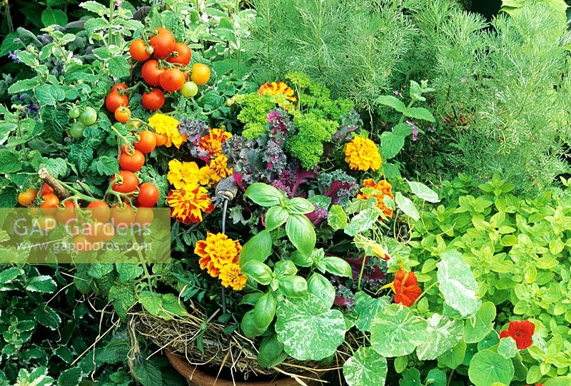 Herbs, flowers and vegetables growing in a wire potato harvesting basket - French Marigolds as a white fly deterrent with Tomatoes, Parsley, Basil, Kale and  Tropaeolum 'Alaska Mixed'