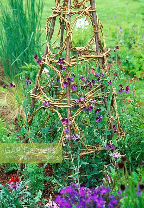 Decorative wigwam for sweet peas - This wigwam uses Lathyrus odoratus 'Cupanis Original' which has georgously scented flowers