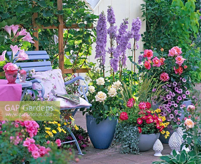 Containers On Patio With Rosa, Delphinium, Petunia U0027Red Mornu0027, Petunia U0027