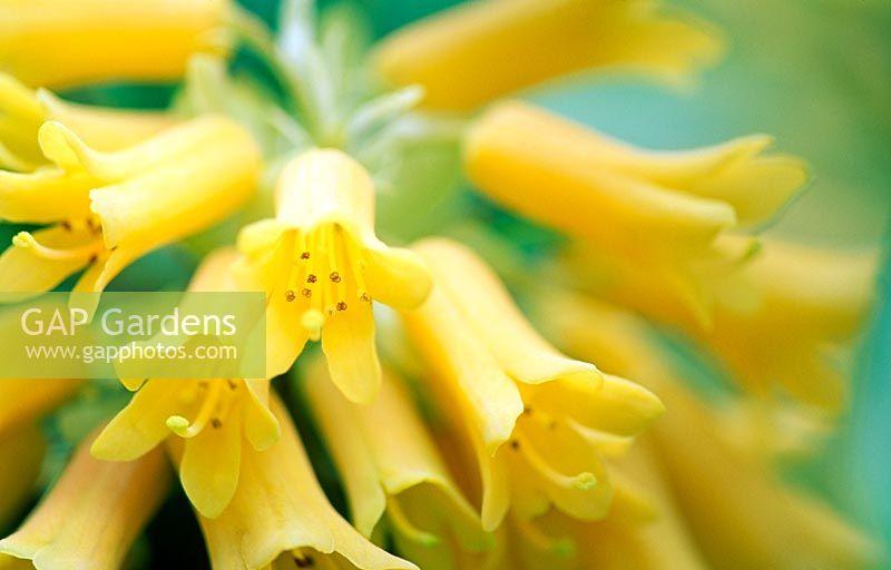Gap gardens waxy tubular yellow flowers of one of minternes own waxy tubular yellow flowers of one of minternes own hybrids a cross between rhododendron xanthocodon mightylinksfo