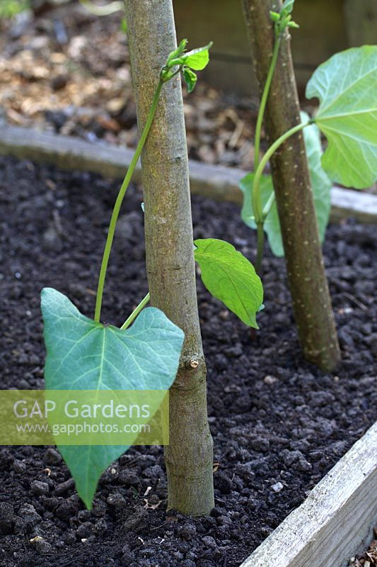 Newly planted Phaseolus coccineus 'Painted Lady' - A Heritage variety of Runner Beans from 1855 with natural support poles of Hazel