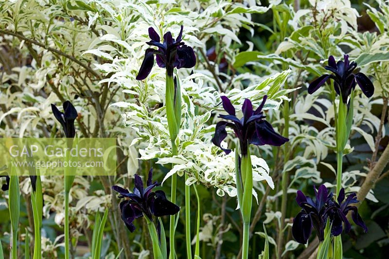 Iris chrysographes growing in front of Forsythia x intermedia 'Yosefa'