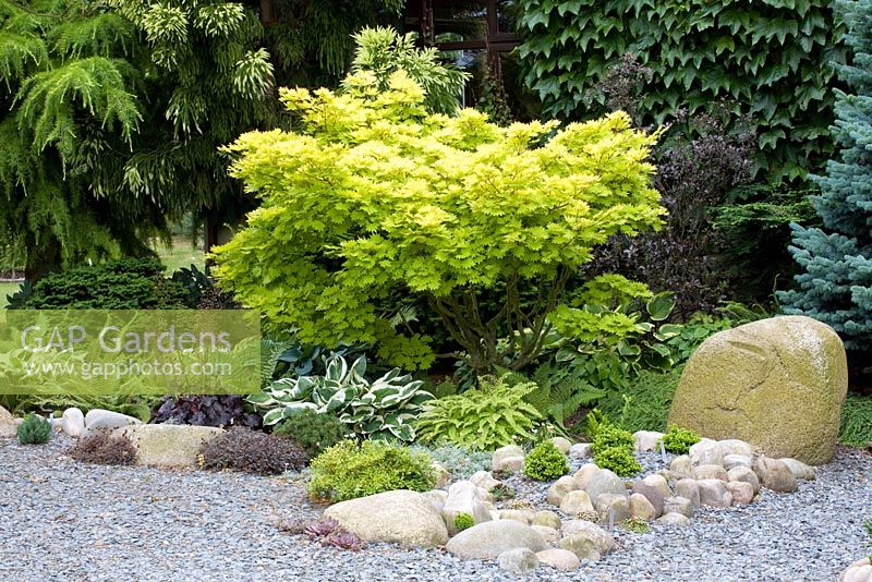 A shady border planting of Hosta, Heuchera and ferns beneath Acer shirasawanum 'Aureum'
