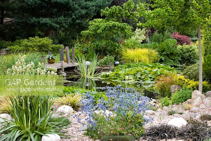 Garden pond with Nymphaea and wooden jetty - Foreground planting of Eryngium x oliverianum and Eryngium agavifolium