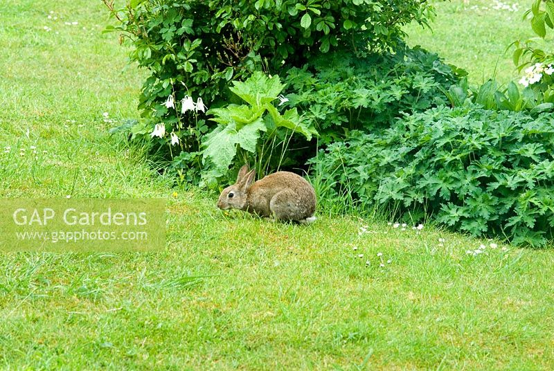 Wild baby rabbit in a domestic garden by a flower bed in May