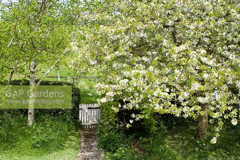 Prunus avium - 37 year old common wild cherry tree in blossom at the beginning of May seen from a first floor window with path leading to white gate and a Betula utilis var jacquemontii - Gowan Cottage, Suffolk