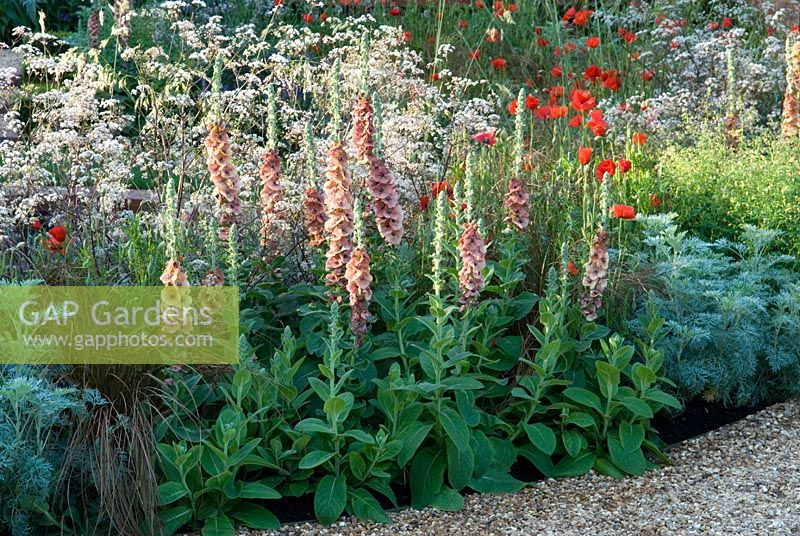 Garden border with Verbascum 'Helen Johnson', Anthriscus sylvestris 'Ravenswing', Papaver rhoeas,Artemisia, and winding gravel path at The Largest Room in The House, Sponsor Sponsors - GMI Property Company, The Royal British Legion, Toc H at RHS Chelsea Flower Show