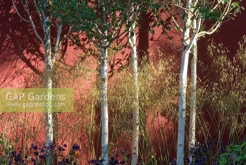 Betula - Himalayan Birch and Stipa gigantea growing against painted wall in The Lloyds TSB Garden, Design Trevor Tooth, Sponsor LLoyds TSB - Chelsea Flower Show 2008