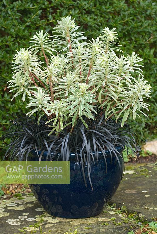 Winter container combination with Euphorbia characias 'Silver Swan' - Spurge and Ophiopogon planiscapus nigrescens - Snakesbeard