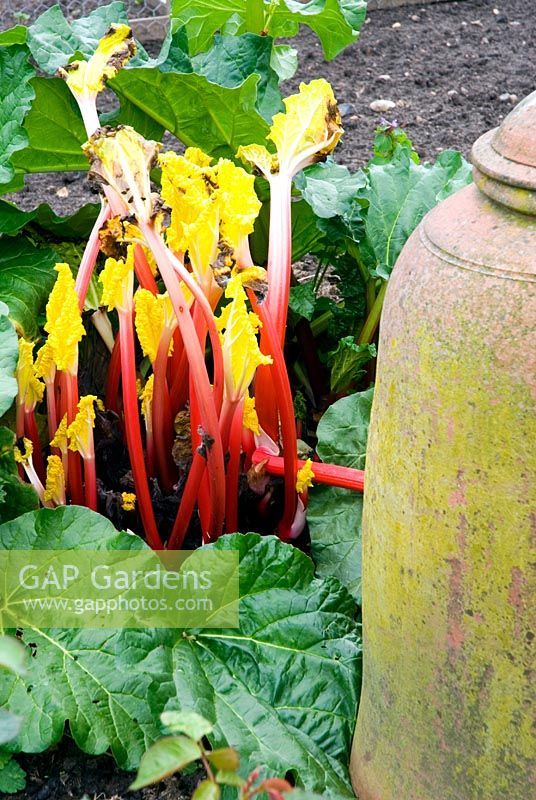 Rheum x hybridum 'Hawkes Champagne' - Forced rhubarb stems and terracotta forcer